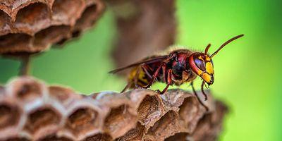Foto: Hornisse beim Nestbau