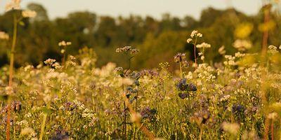 Foto: Eine Blumenwiese im Sonnenuntergang.