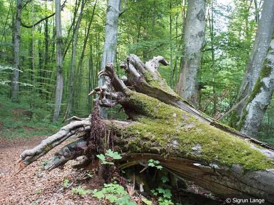 Foto: Ein umgestürzter Baum im Isartal