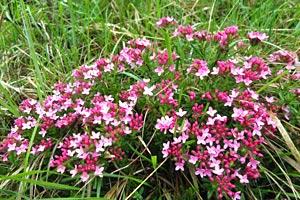 Foto: Rosa blühende Pflanze