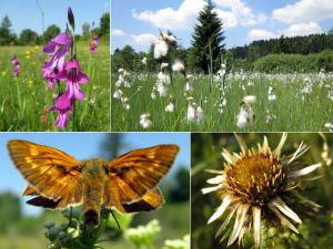 Foto: Sumpf-Gladiole, Streuwiese Deininger Moos, Früher Kommafalter und Gold-Distel