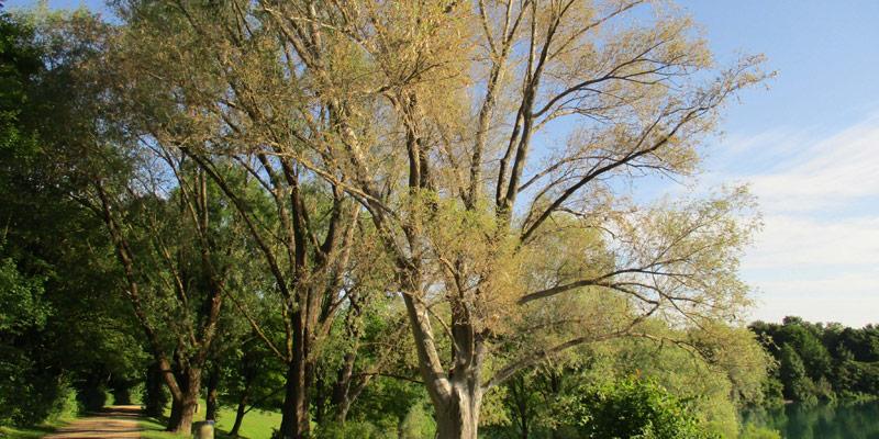 Foto: von Gespinstmotten befallene Weide am Heimstettener See